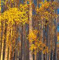Aspen,Hart Prairie,Arizona