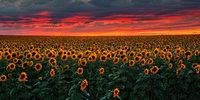 A Billion Sunflowers
