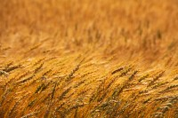 wheat,Kansas,field
