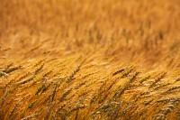 wheat,Kansas,field