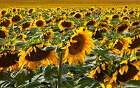 sunflower,field,denver,colorado