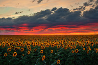 sunflower,field,sunset,denver,colorado