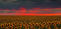 sunflower,sunset,denver,colorado
