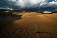 Great Sand Dunes, Colorado, sunflower