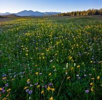 wildflowers,Gore range,eccles pass,Colorado