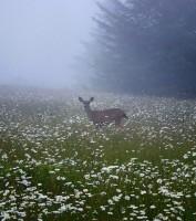 Arcata,deer