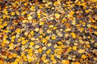 aspen,leaves,creek,Colorado