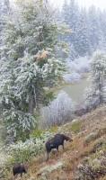 Grand Teton,moose