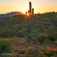 saguaro,Peridot Mesa,sunset