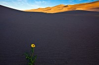 Great Sand Dunes,Colorado,sunflower