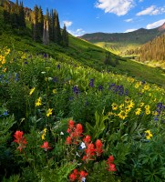 wildflowers,snowmass,colorado