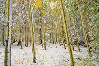 Aspen Corner, snow, forest, aspen, Flagstaff, Arizona, Snowbowl