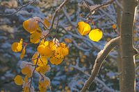 aspen,snow,bear lake,Colorado,leaves