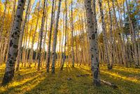 Flagstaff, Hart Prairie, aspen, forest