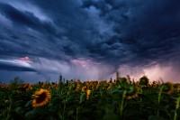 Revenge of the Shocking Sunflowers