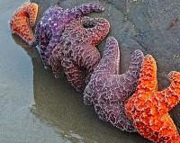 starfish,Olympic National Park,Washington