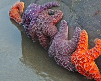 starfish,Olympic National Park,tide pool,Rialto Beach