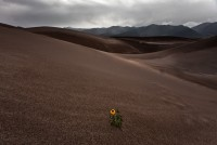 sunflower,great sand dunes,Colorado,thunderstorm