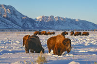 bison,Grand Teton,wyoming