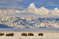 buffalo,Grand Teton,Wyoming