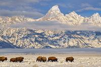 buffalo,Grand Teton,Wyoming