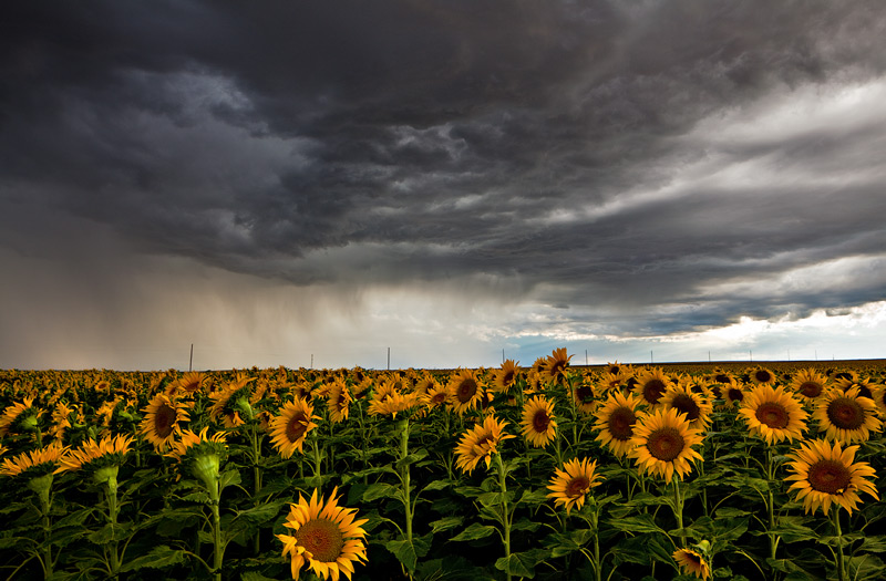 sunflower,field,storm