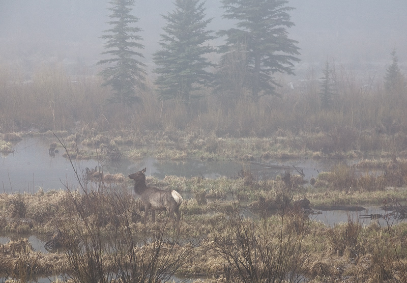 Lake City,Colorado,fog,elk, photo