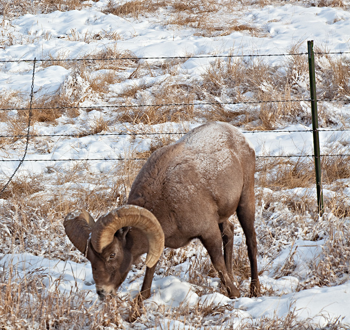 Bighorn grazing on Hardscrabble Pass on the drive baaaaaaack!  Happy New Year, Everyone!