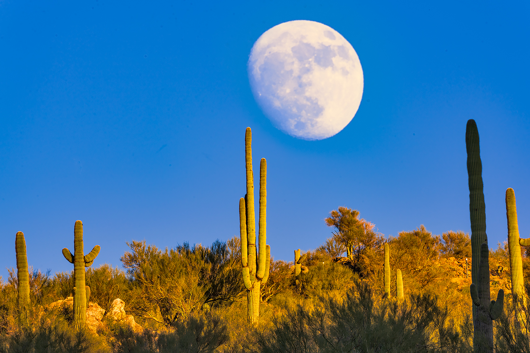 bumblebee,saguuaro,desert,moon, photo