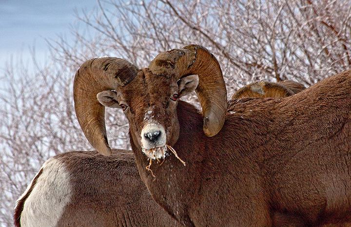 Bighorn,Wet Mountains,Colorado, photo