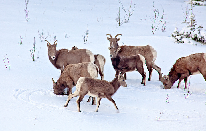 One last shot of this amazing family of bighorn sheep, as I headed back to Pueblo. An amazing Christmas Eve morning!