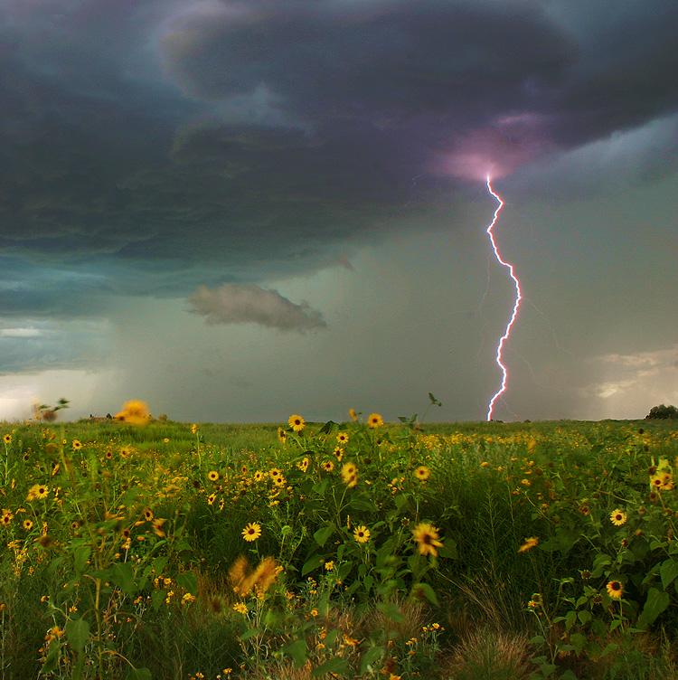 lightning,sunflowers,Colorado, photo