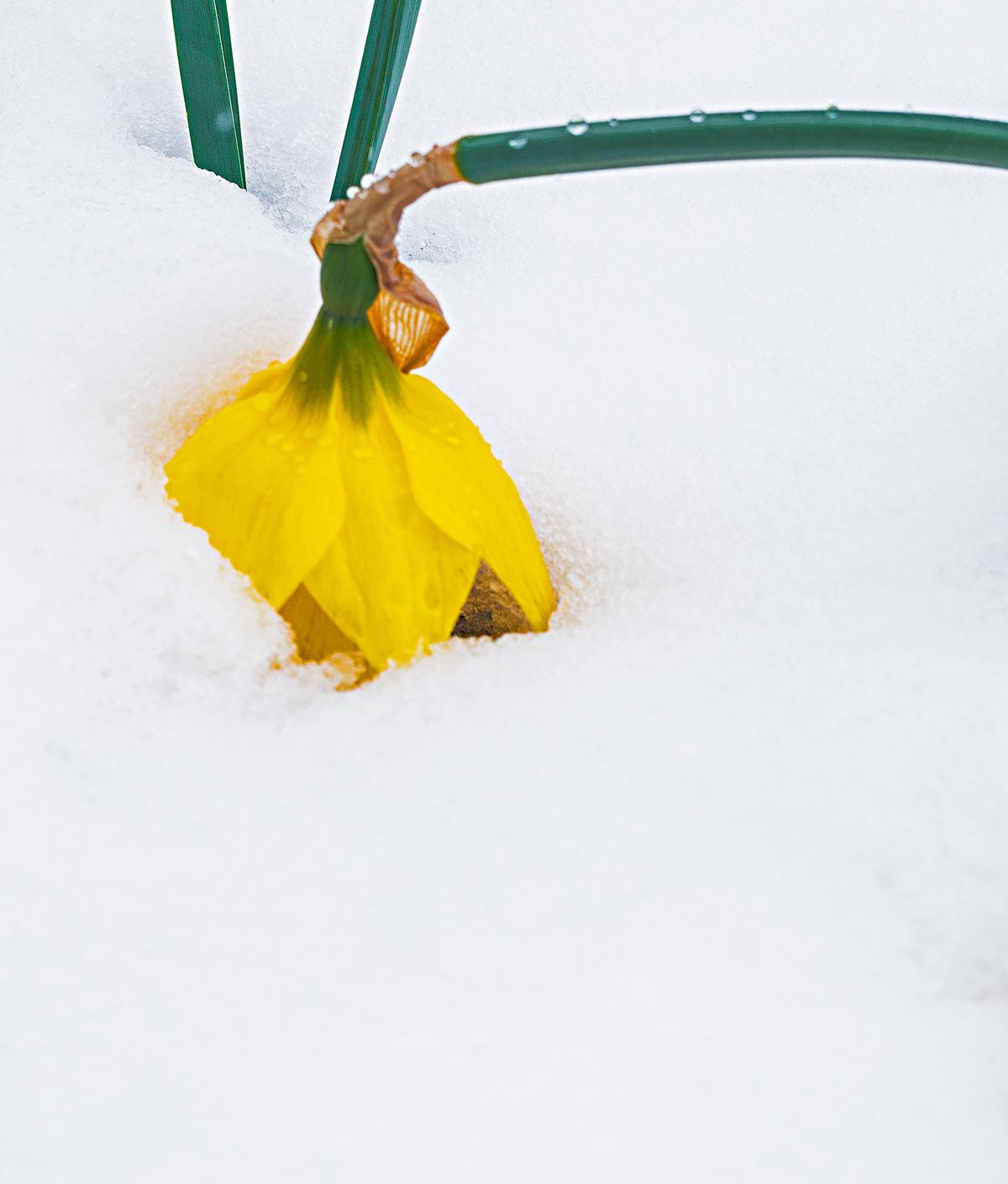 xeriscape, Colorado springs, Colorado, daffodil. snowstorm, photo