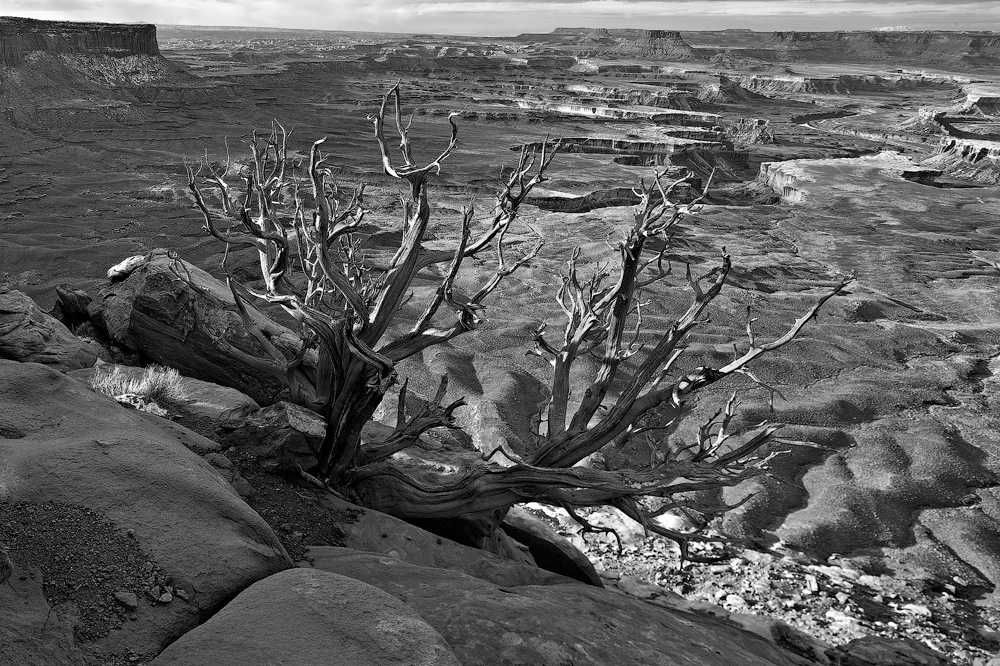 Old tree on edge of the Green RIver Overlook.