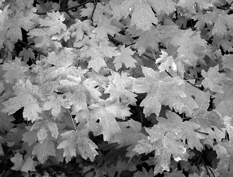 Zion,maples, photo