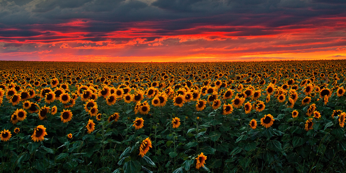 sunflower,denver,colorado,sunset,field