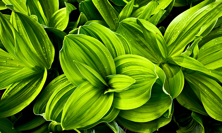 false hellebore,corn lily,Colorado,Blaine Basin,Sneffels, photo