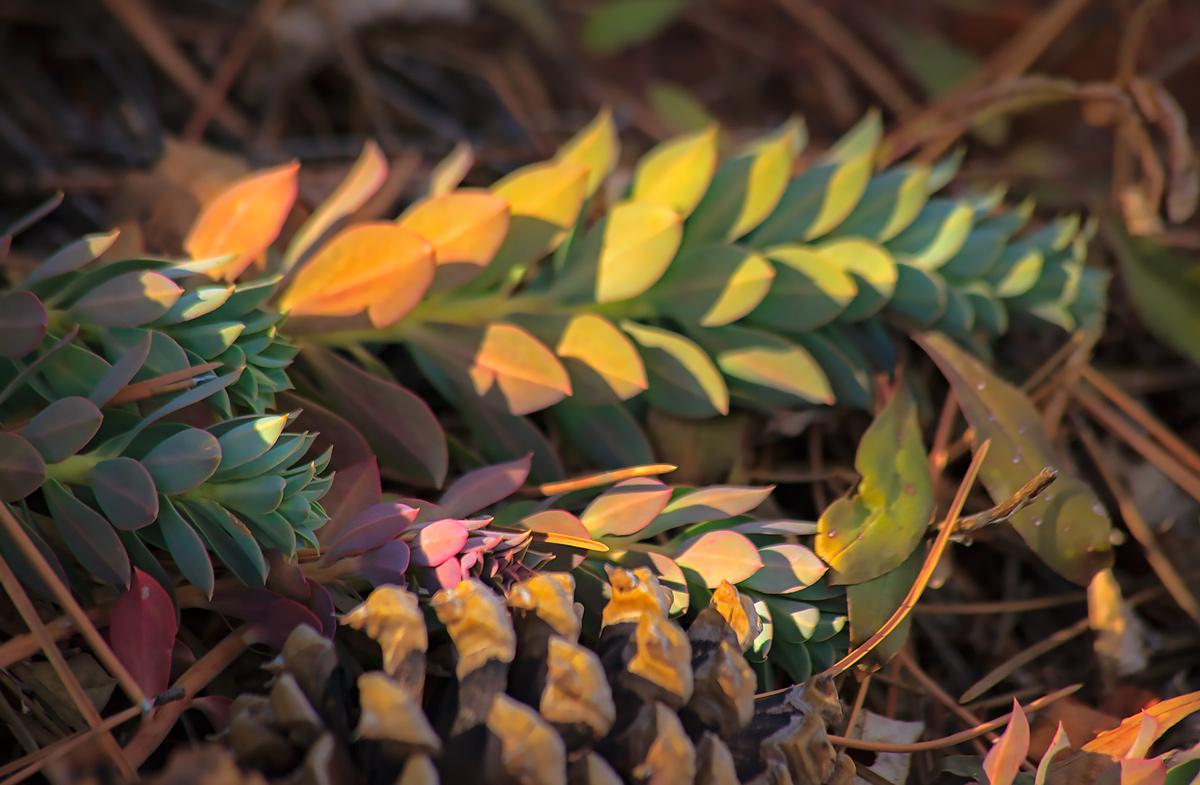 pine cones, forest, Blodgett peak, colorado, photo