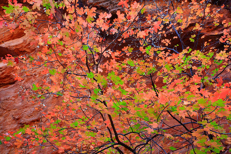 Maple,Refrigerator Canyon,Zion,Utah, photo