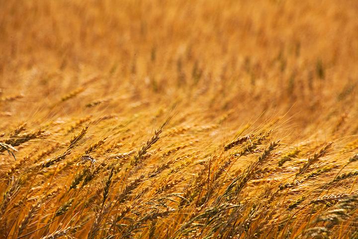 wheat,Kansas,field, photo