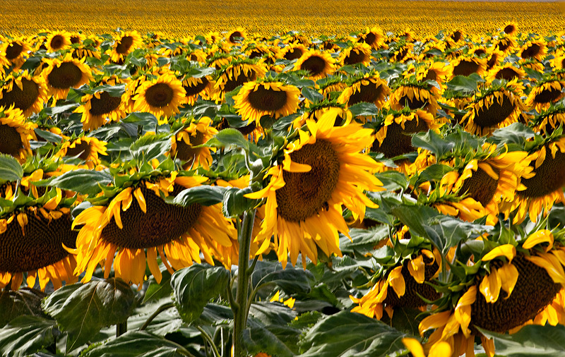 sunflower,field,denver,colorado, photo