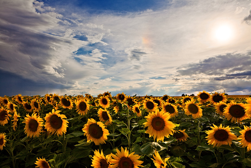 sunflower,field,sun dog,denver,colorado, photo