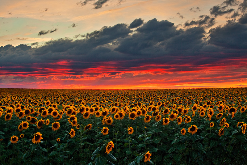 sunflower,field,sunset,denver,colorado, photo