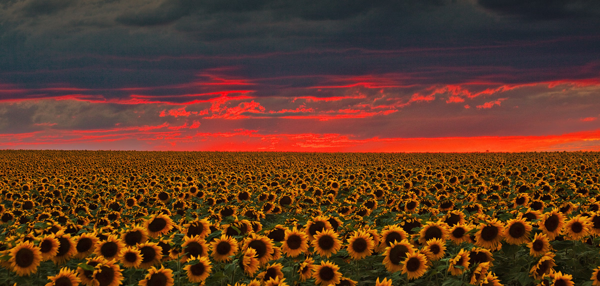 sunflower,sunset,denver,colorado, photo