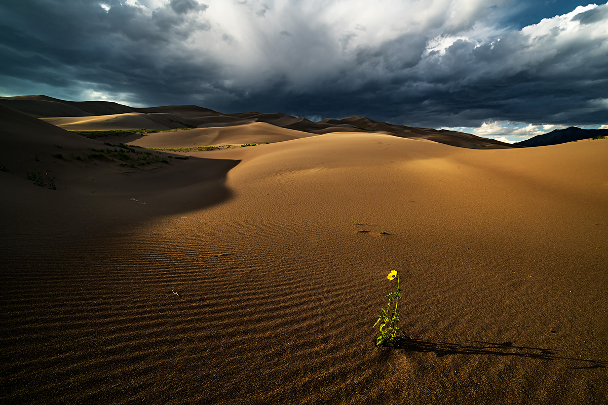 Great Sand Dunes, Colorado, sunflower, photo