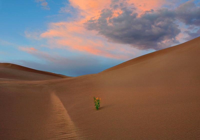 great sand dunes,sunflower, photo
