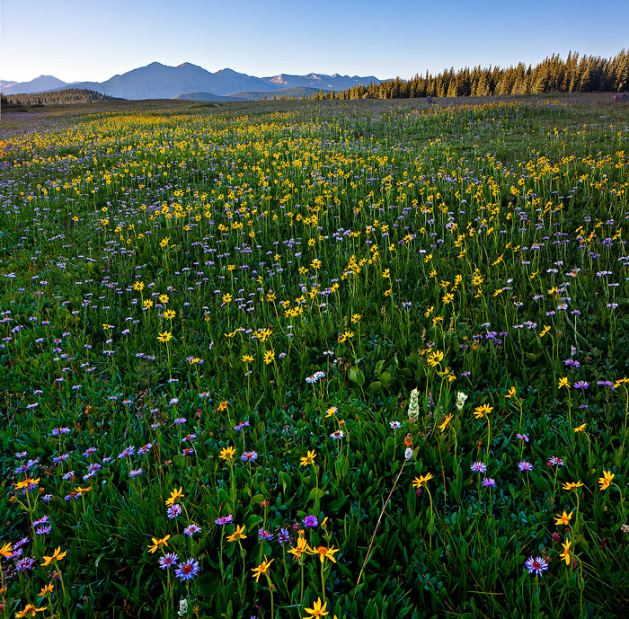wildflowers,Gore range,eccles pass,Colorado, photo