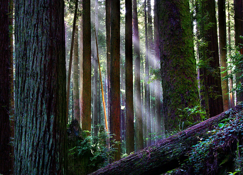 Arcata,California,redwood,forest, photo