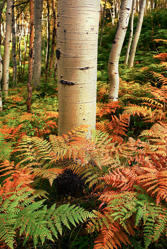 aspen,fern,Kebler,Colorado, photo