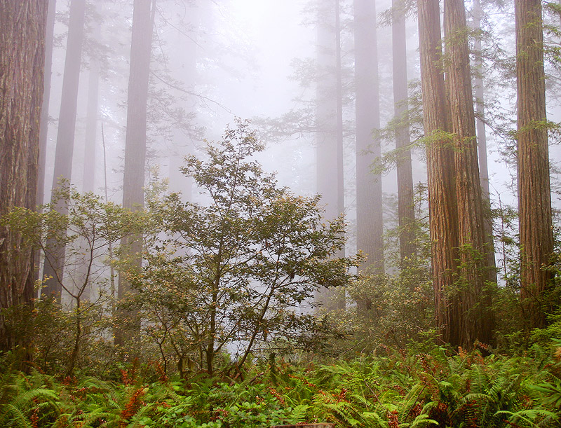 fog,redwood,California, photo